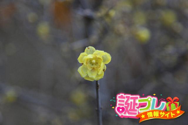 福寿蝋梅の画像