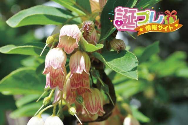 サラサドウダンの花の画像