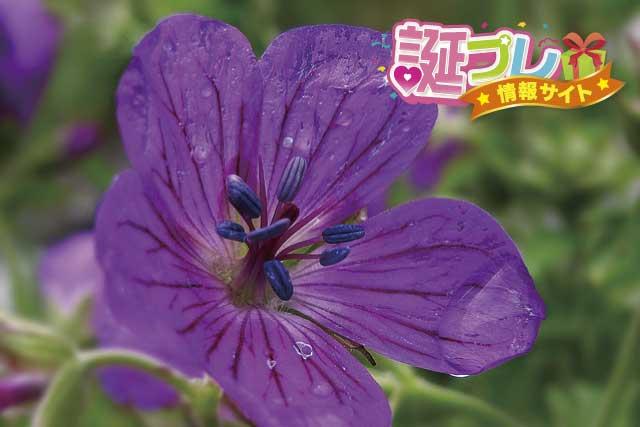 フウロソウの花の画像
