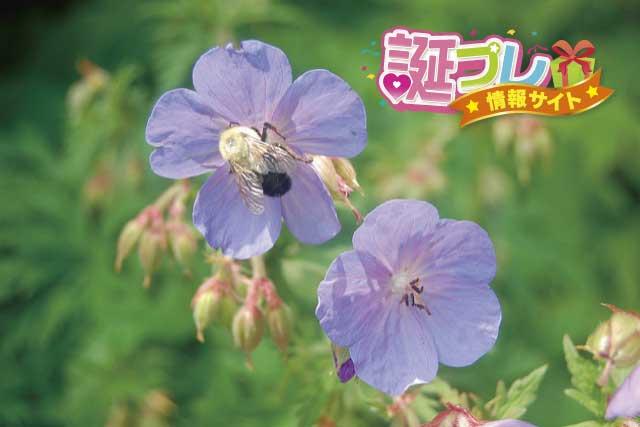 ゼラニウムの花の画像