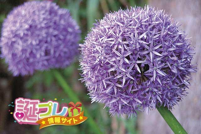 アリウム・ギガンチウムの花の画像