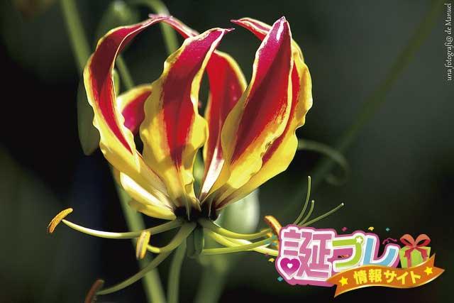 グロリオサの花の画像