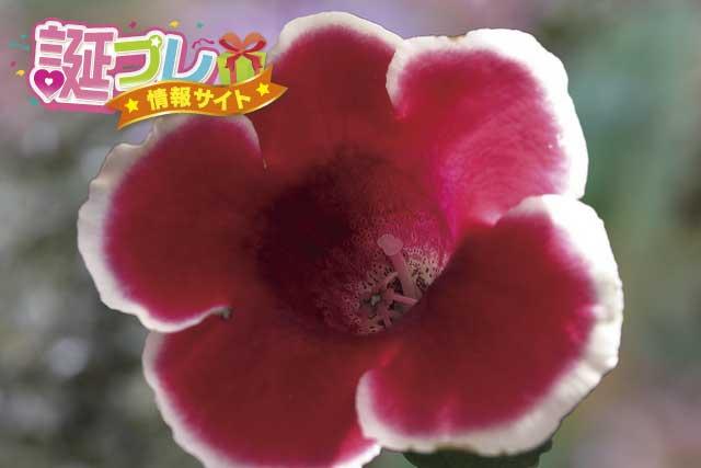 グロキシニアの花の画像