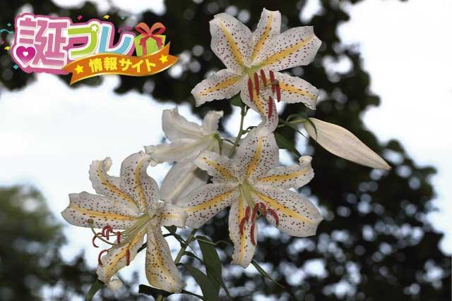 山百合の花の画像