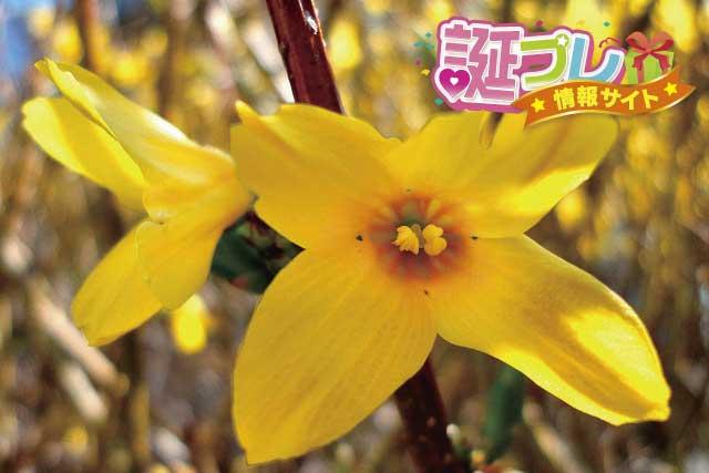 レンギョウの花の画像