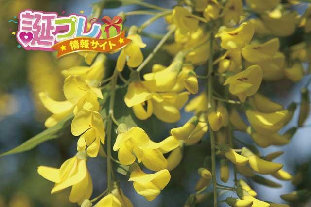 キングサリの花の画像