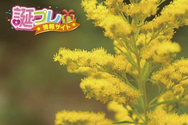 アキノキリンソウの花の画像