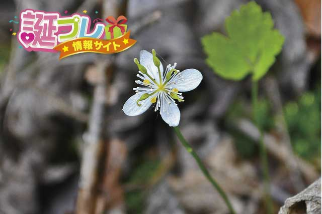 オウレンの花の画像