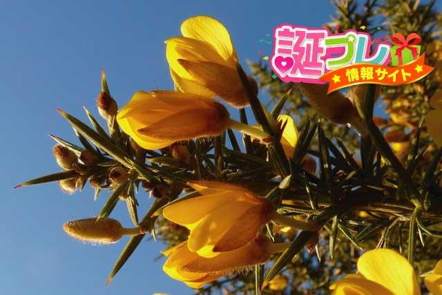 ハリエニシダの花の画像