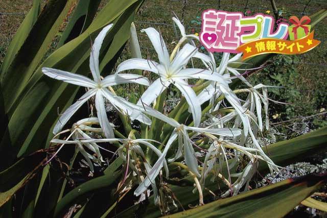 ハマユウの花の画像