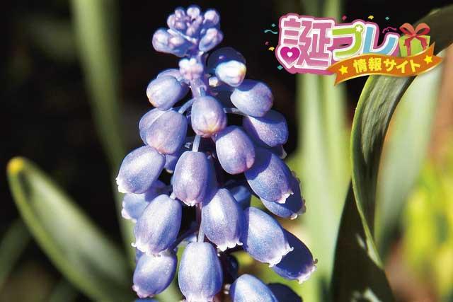 ムスカリの花の画像