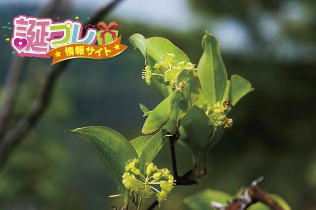 サルトリイバラの花の画像