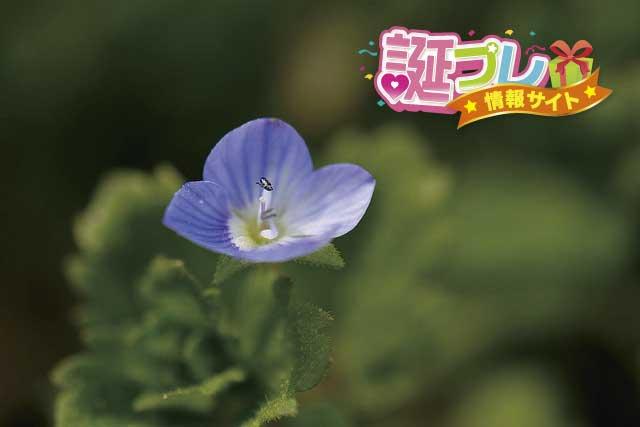 イヌノフグリの花の画像