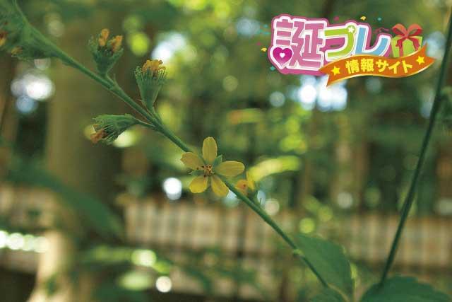 キンミズヒキの花の画像