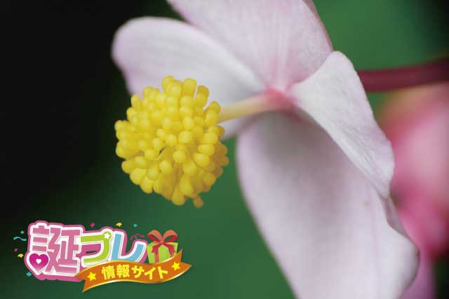 秋海棠の花の画像