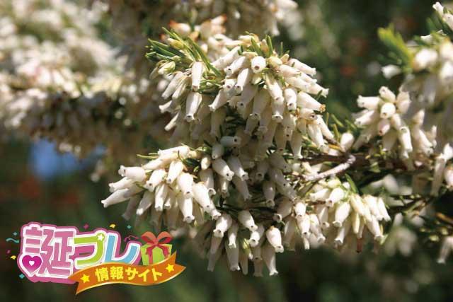 エリカの花の画像