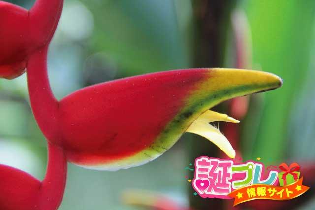 ヘリコニア・ロストラータの花の画像