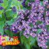 日本初の香水の原料ヘリオトロープの花言葉は愛に関係した2語