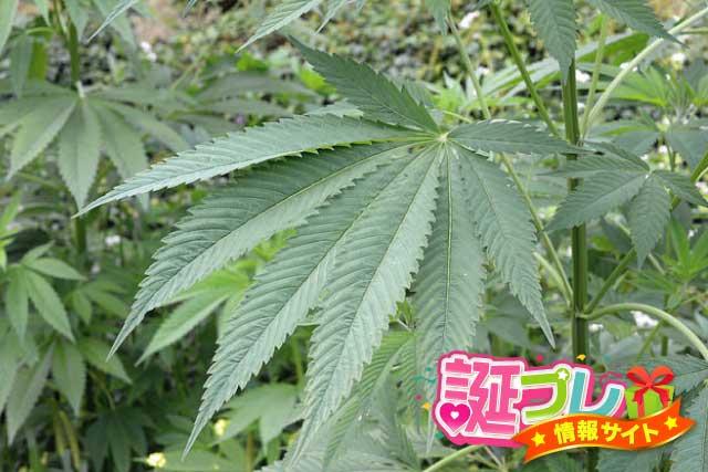麻の葉の画像