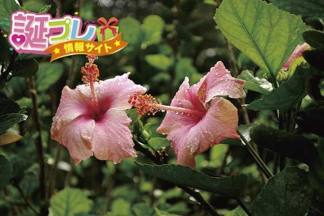 ハイビスカスの花の画像
