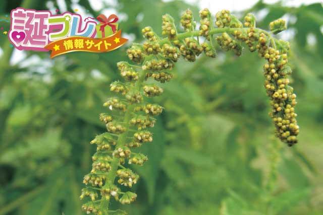 ブタクサの花の画像