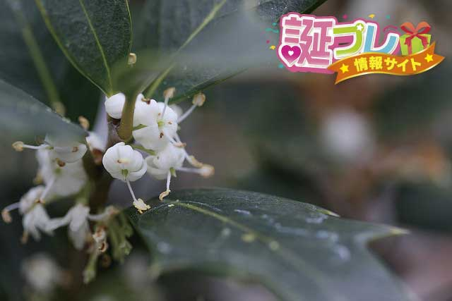 柊の花の画像