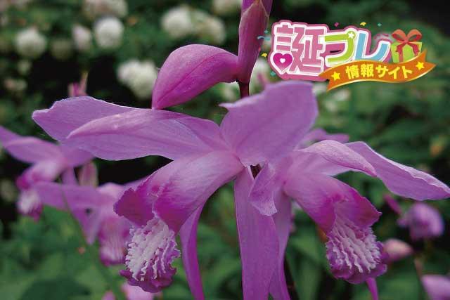紫蘭の花の画像