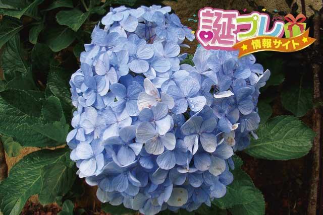 紫陽花の花の画像
