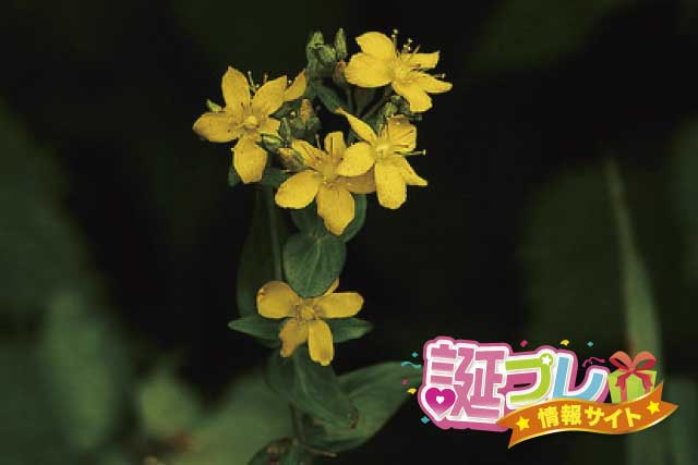 弟切草の花の画像
