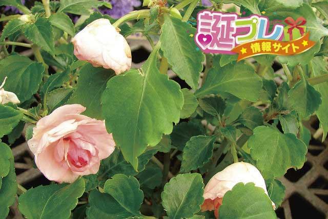 バラ咲きインパチェンスの画像
