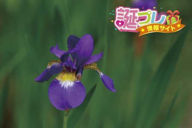 あやめの花の画像