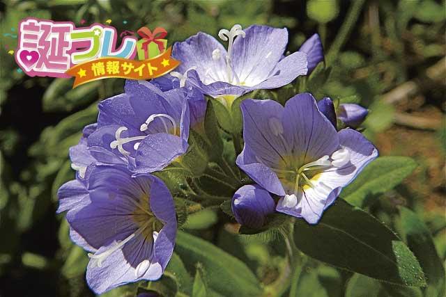 ハナシノブの花の画像