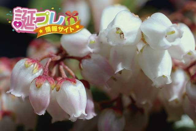 アセビの花の画像