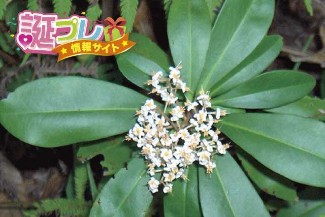 ヤブコウジの花の画像