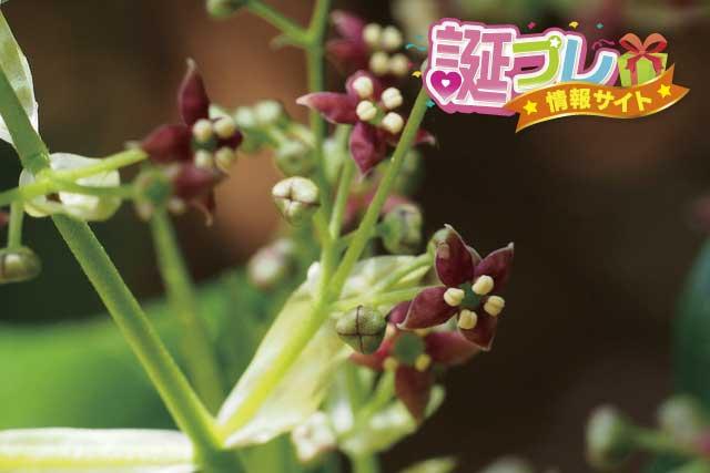 アオキの花の画像