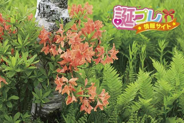 レンゲツツジの花の画像