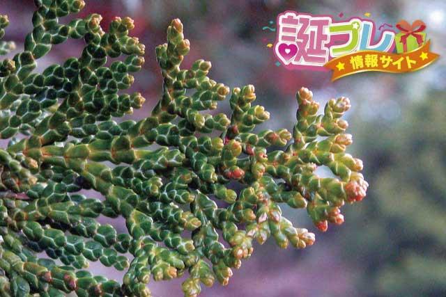檜の花の画像