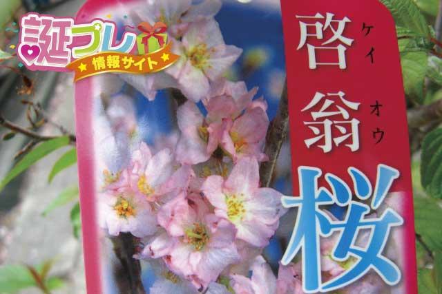 啓翁桜の画像