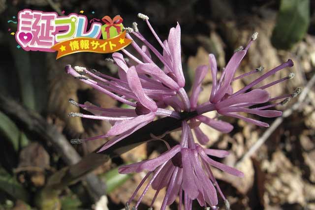 ショウジョウバカマの花の画像