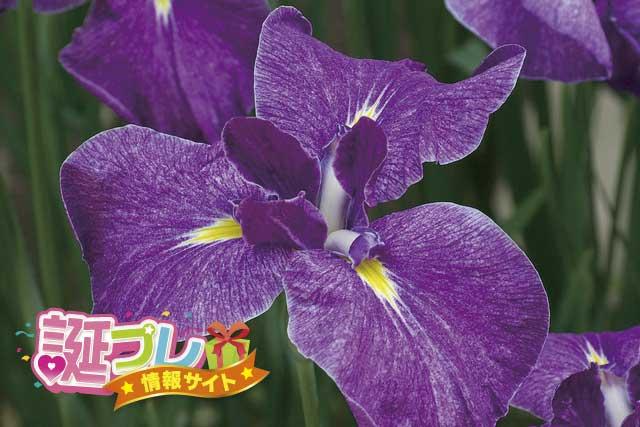 花菖蒲の花の画像