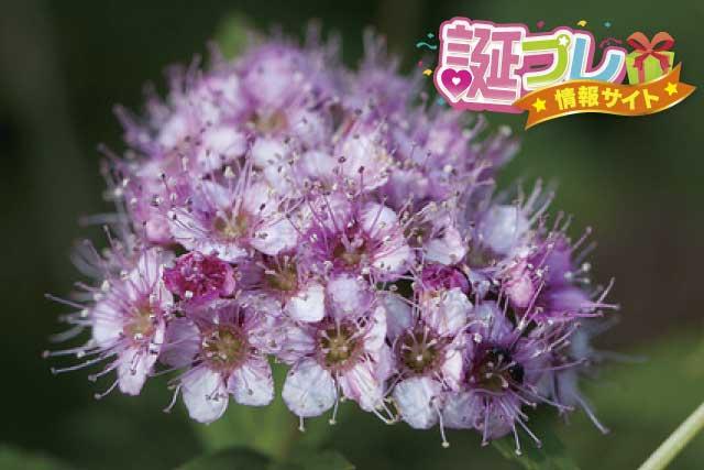 シモツケソウの花の画像