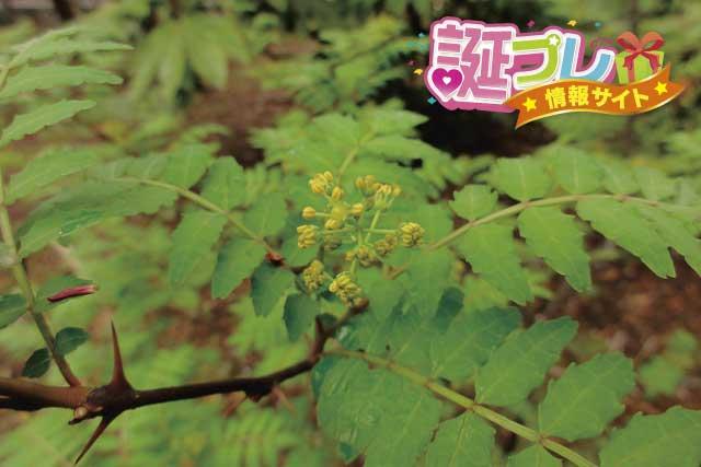 山椒の花の画像