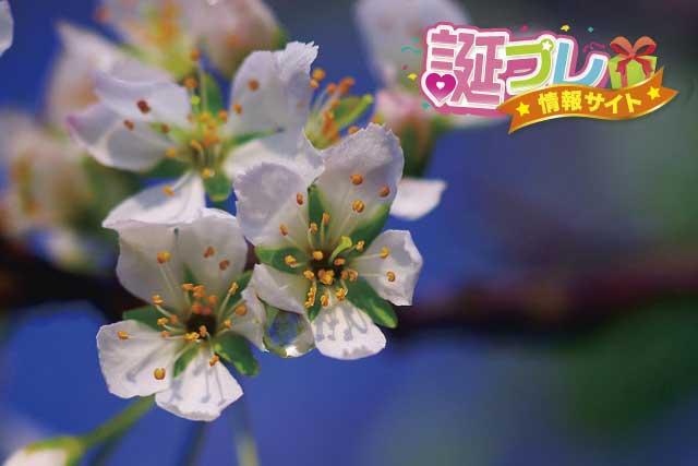 すももの花の画像