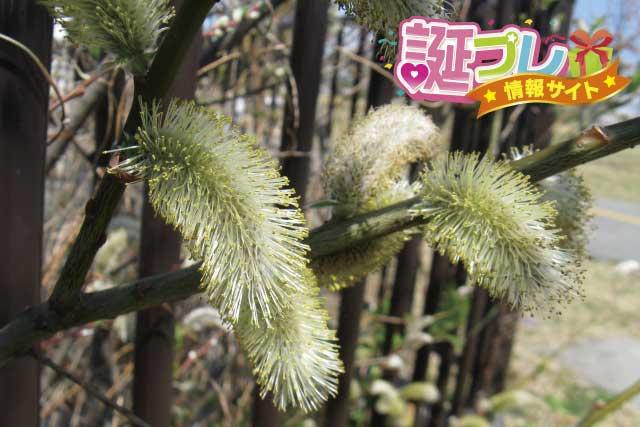 アカメヤナギの花の画像