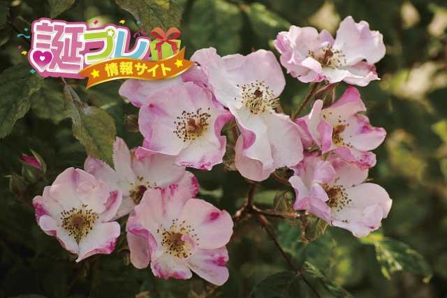 野ばらの花の画像