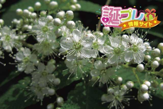 ナナカマドの花の画像