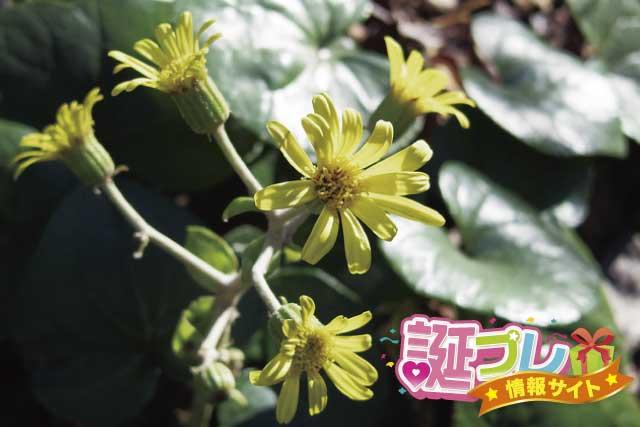 ツワブキの花の画像