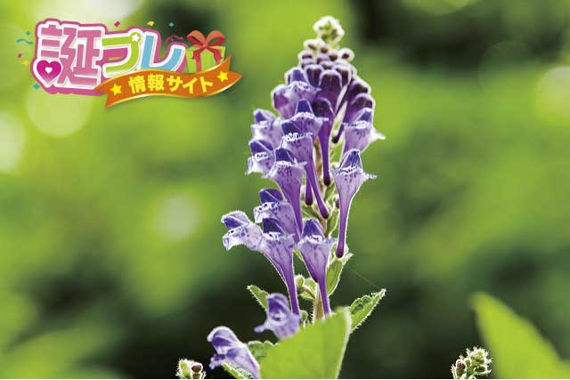 タツナミソウの花の画像