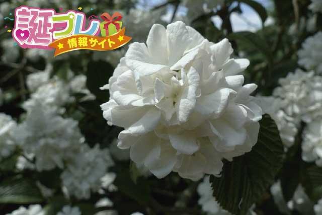 オオデマリの花の画像