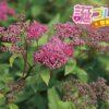 下野(シモツケ)の花言葉は人に贈るべきではない残念な言葉